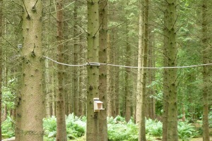 One of the rope courses which we constructed. The rope will allow the squirrels to move from tree to tree safely and visibly